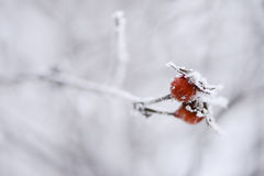 Frosty red berries on a branch Stock Image