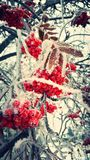 Frosty red berries. A cold winter day, this frosty rowan tree is covered in frosted berries Stock Photos