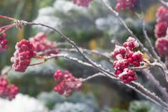 Free Frosty Red Berry On The Bushes. Winter Gardening Nature. Closeup Royalty Free Stock Photography - 164693097