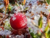 Frosty cranberry at a bog. Frosty red cranberry at a bog. Focus-stacked macro shot royalty free stock photography