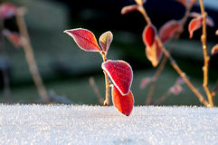 Frosty Red Leaves Stock Images