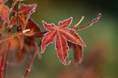 Frosty Red Maple Leaf. Red Japanese Maple leaf with frost on the edges and a curl at the bottom of the leaf Stock Photo