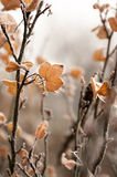 Frosty redcurrant leaves royalty free stock image