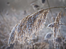 Frosty reed in winter Royalty Free Stock Photos