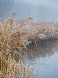Frosty reed in winter Royalty Free Stock Photo