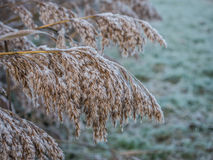 Frosty reed in winter Stock Photo