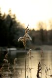 Frosty reeds. In dusk with frozen lake in the background Stock Images