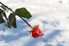 A frosty rose bud royalty free stock photography