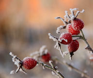 Frosty rose hips in sunlight Stock Image