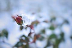 Frosty rose Royalty Free Stock Photo