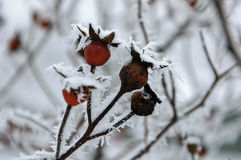 Frosty Rosehip. Berries of rosehip covered by hoarfrost close up Royalty Free Stock Photos