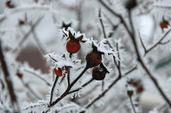 Frosty Rosehip. Berries of rosehip covered by hoarfrost close up Stock Photography