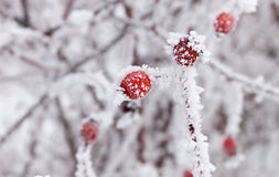 Frosty rosehips close up Royalty Free Stock Photo