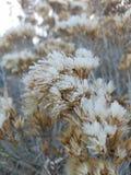 Frosty Sage Fotografia Stock Libera da Diritti