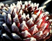 Frosty sempervivum Stock Image