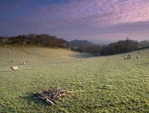 Frosty Sheep. Sheep on the landscape on a frosty morning near Bath in Somerset England Stock Image