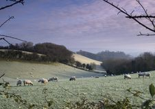 Frosty Sheep 2. Early frosty morning shot of sheep on the landscape Stock Photo