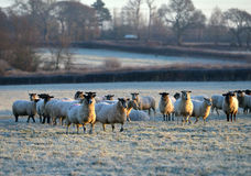 Frosty sheep. Flock of sheep in a frosty field Stock Photo