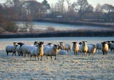 Frosty sheep Stock Photo
