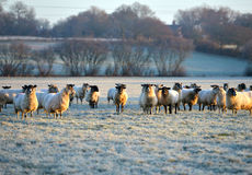 Frosty sheep stock photography