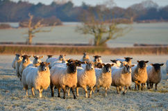 Frosty sheep royalty free stock photos