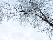 Frosty silhouette of a birch branch with a sky backstage. Russia. royalty free stock photo