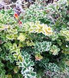 Frosty sloe. Leaves , frosty stock photos