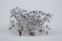 Frosty Snow Covered Bushes. In a Snowbank Stock Photography