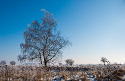 A frosty solitary tree in a Dutch nature reserve Stock Image