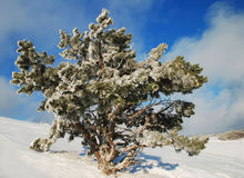 Frosty spruce Stock Photography