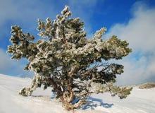 Frosty spruce stock photography