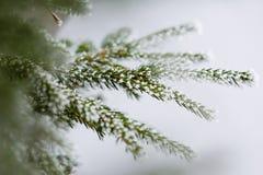 Frosty spruce branch Stock Photos