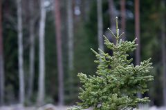 A frosty spruce web background. Spruce in a cold and wintry Swedish landscape stock images