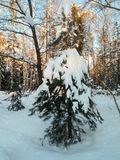 Frosty sunny winter day in the snowy countryside. Young fir tree under abundant snow covering. Royalty Free Stock Photography