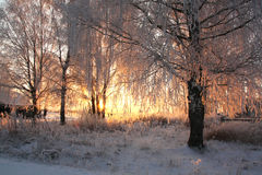 Frosty sunset in the village. Frosty evening glow through the snow-dusted frozen branches of birch in the village Royalty Free Stock Image