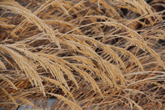Frosty tall grass in sunlight Stock Photography
