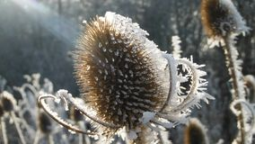 Frosty teasel bathed in sunlight. A teasel thawing out in the winter sun after a hard frost in midwinter Stock Image