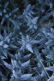Frosty thistles Royalty Free Stock Photos