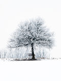 Frosty tree. A frosty tree in a field covered with snow Stock Images