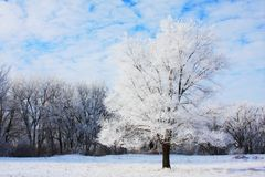 Frosty tree Royalty Free Stock Photo