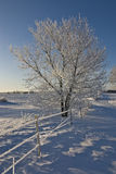 Frosty Tree Royaltyfri Bild
