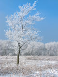 Frosty Tree Stock Images