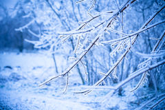 Frosty tree branch in winter Royalty Free Stock Image