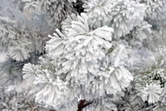 Frosty tree branch in winter Royalty Free Stock Photo