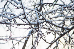 Frosty tree branch in winter. Stock Photo