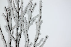Frosty Tree Branches Stock Image
