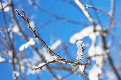 Frosty tree branches in winter Royalty Free Stock Photography