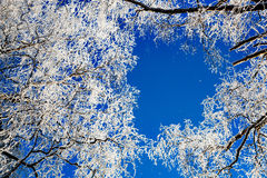 Frosty tree canopy against bright blue sky Stock Image
