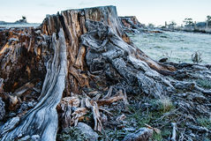 Frosty tree stump. Early morning frost covered tree stump Stock Images