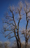 Frosty tree in the winter with a blue sky Royalty Free Stock Photos